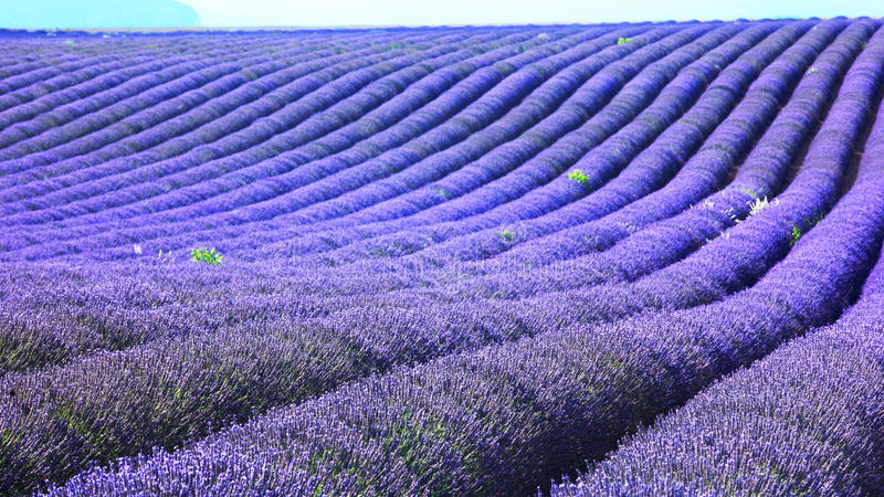 Download Lavender field stock photo. Image of fragrance, colorful - 23972400