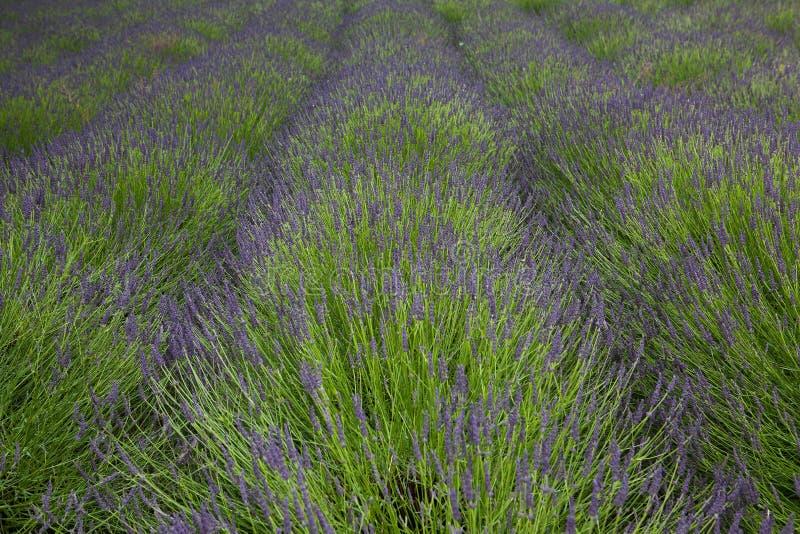 Download Lavender field stock photo. Image of leaf, fragrance - 27935372
