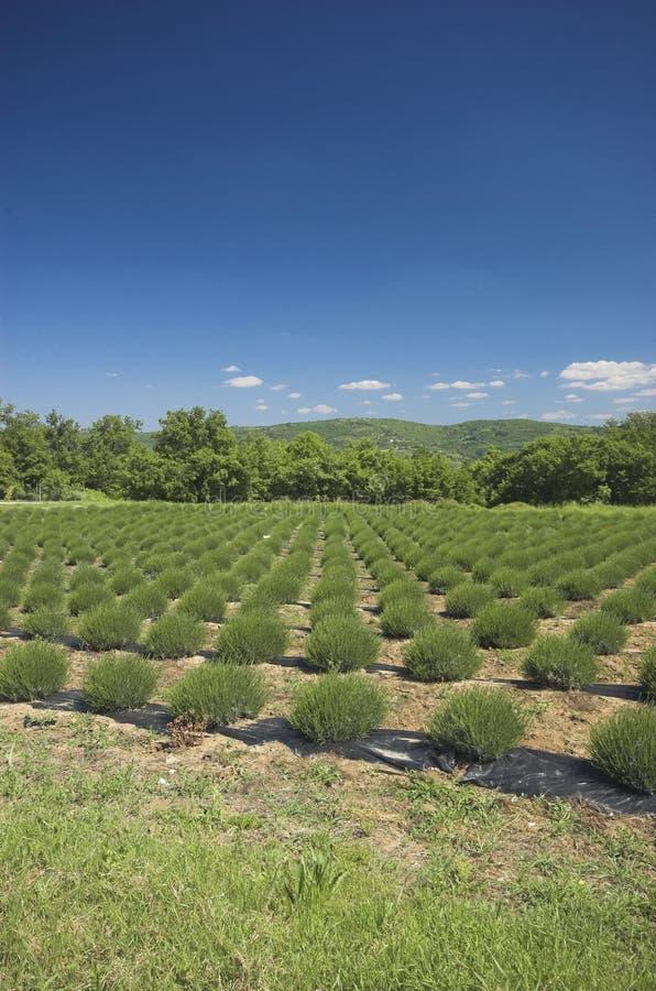 Free Lavender Field Stock Photo - 5208890