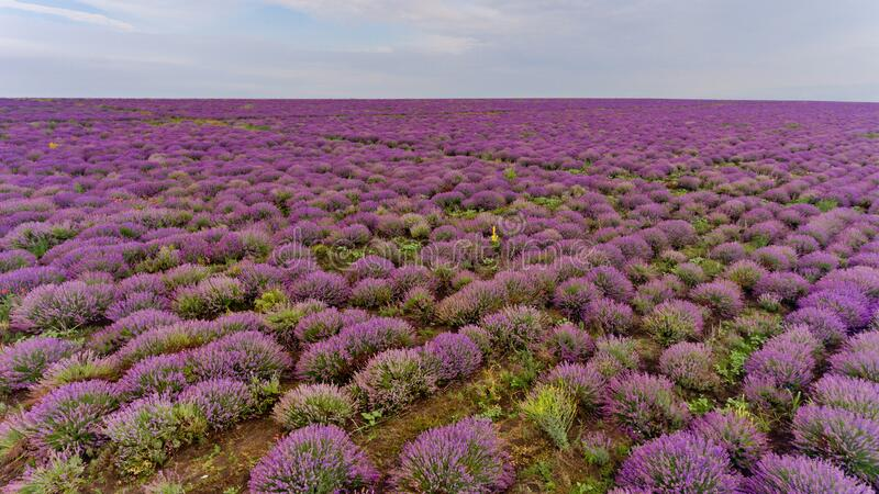 Lavender field aerial view. Background stock photos