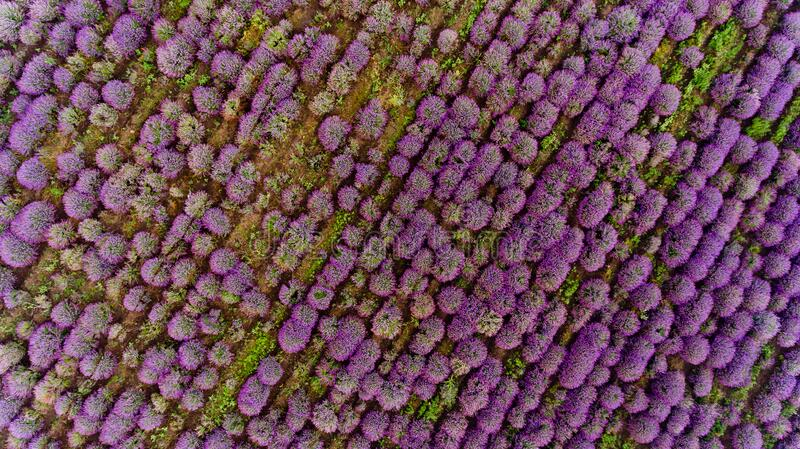 Lavender field aerial view. Top view royalty free stock photo