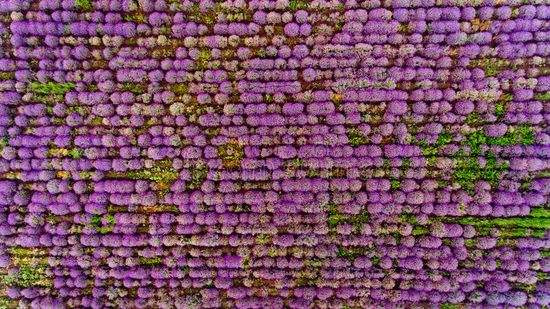 Lavender field aerial view. Top view stock photo
