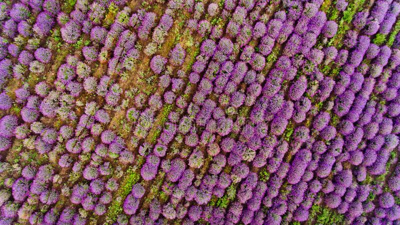 Lavender field aerial view. Top view royalty free stock photos
