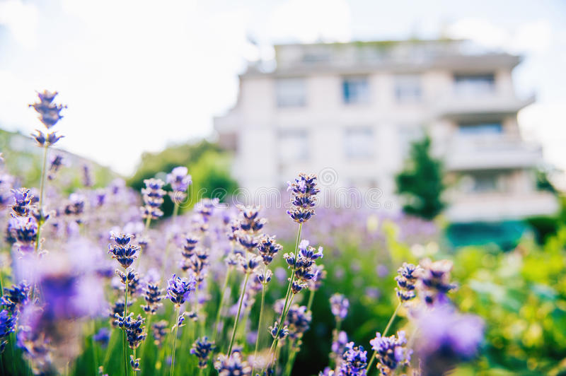 Lavender field with appartment in the background royalty free stock image