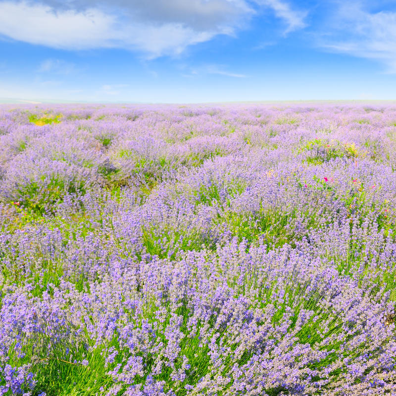 lavender in a field on a background of blue sky royalty free stock photos
