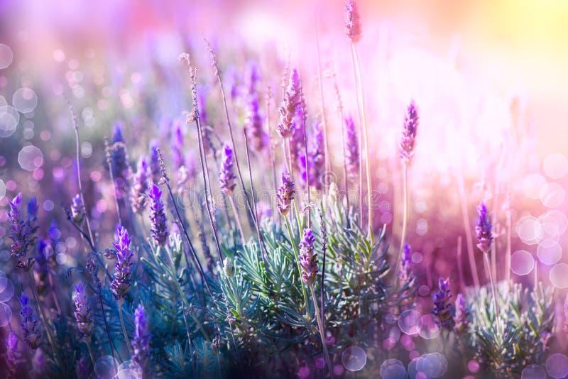 Lavender. Field. Beautiful Violet Flowers