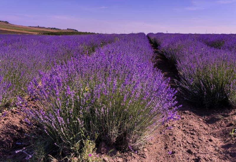 Lavender field in Bulgaria stock photos