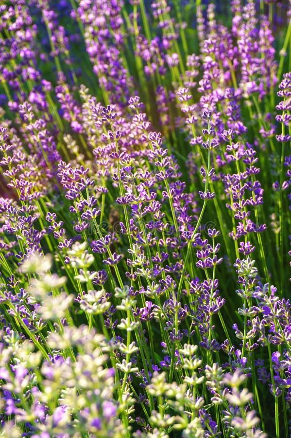 Lavender field sunny mood closeup background. Lavender field sunny mood in summer closeup background royalty free stock images
