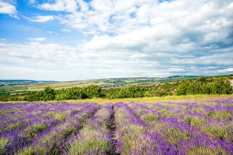 Lavender field and farm at sunny day before storm, traditional Provence rural landscape with flowers and blue sky, wide angle coun stock photography