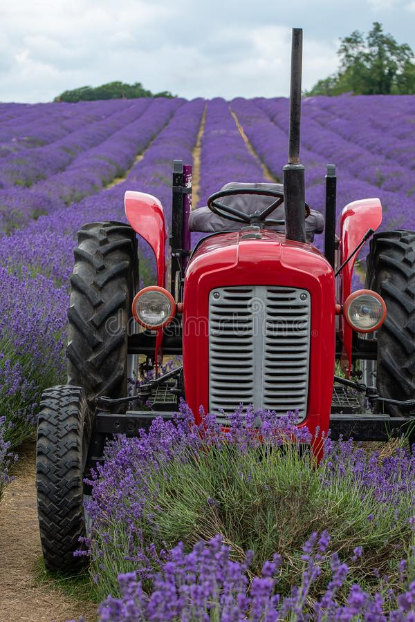 Lavender field in full bloom at Mayfields farm stock image