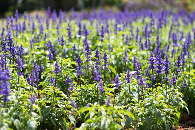Lavender Field. Full of purple stock image