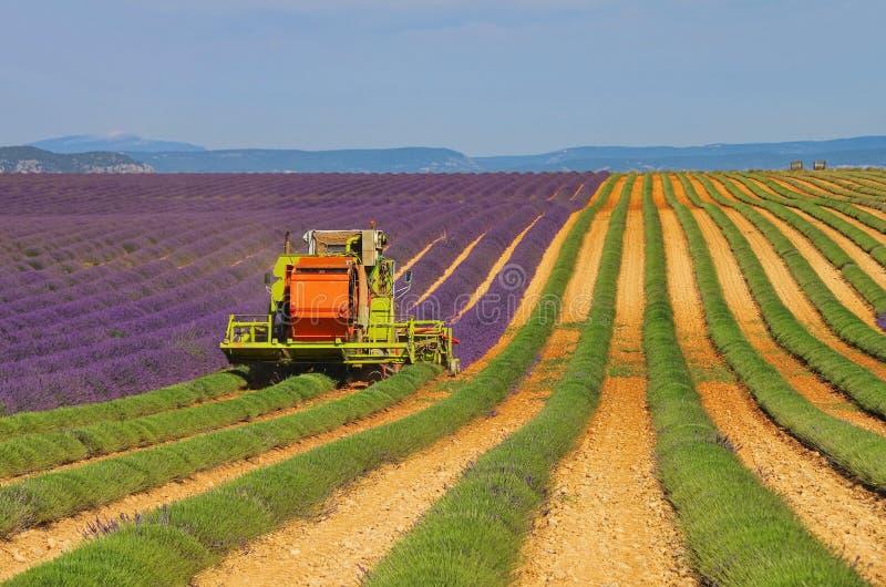 Lavender Field Harvest Stock Photography