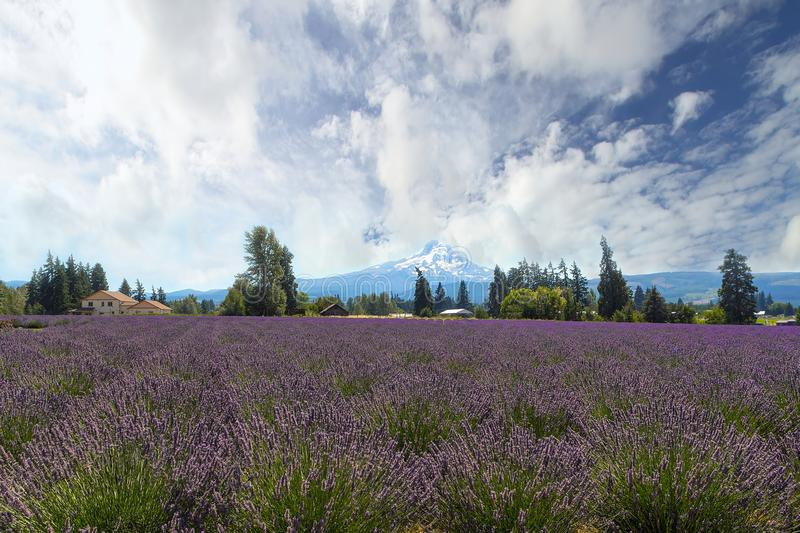 Lavender Field in Hood River Oregon. Lavender field flowers in full bloom at Hood River Valley Oregon during summer stock image