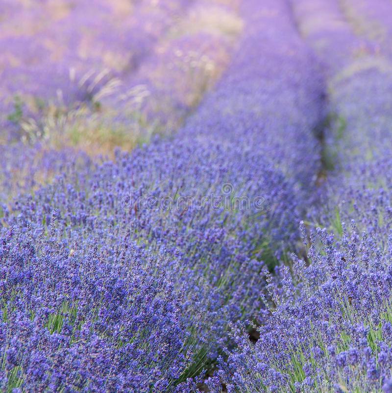 Free Lavender Field In Provence Stock Images - 31685144