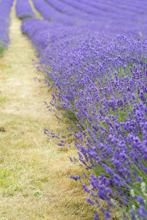 Lavender field landscape with differential focus technique giving shallow depth of field royalty free stock photo