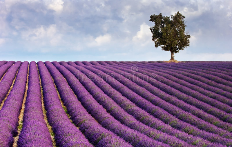 Download Lavender Field And A Lone Tree Stock Photo - Image: 4081496