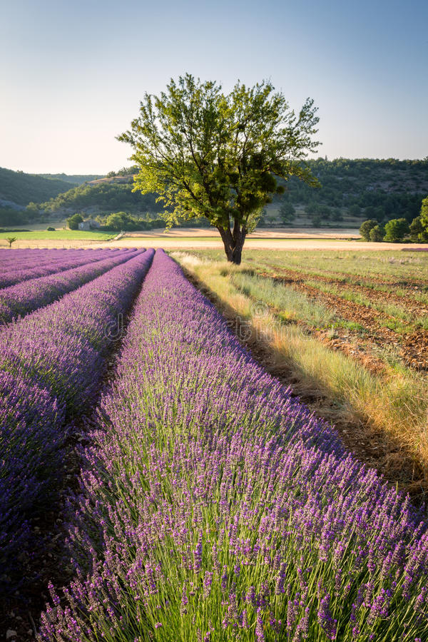 Lavender field and lonely tree in Provence stock images