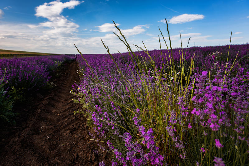 Lavender field near Burgas city, Bulgaria royalty free stock photography