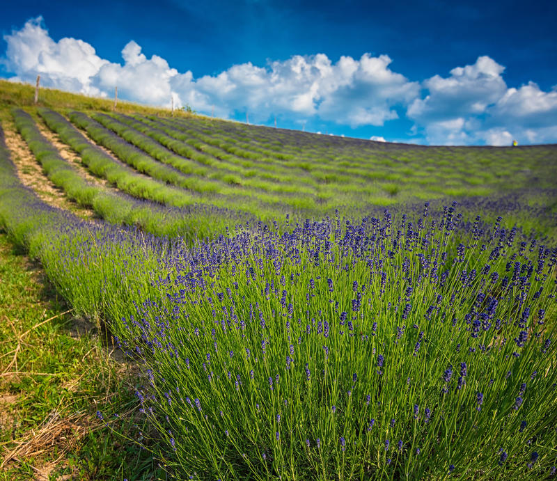 Lavender field with nice sky royalty free stock photo