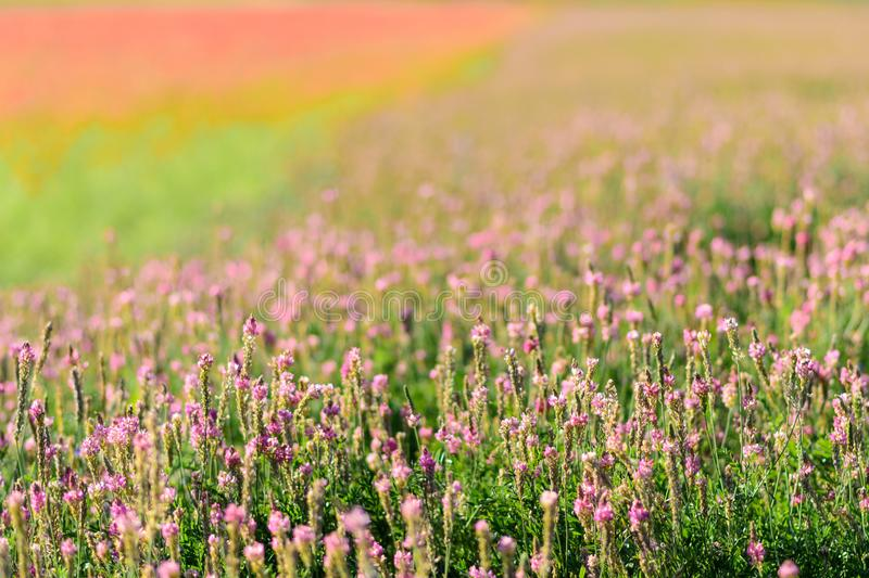 Lavender field with out of focus lentil plant in the background in the Castelluccio Plans in the central Italy region of Umbria stock image