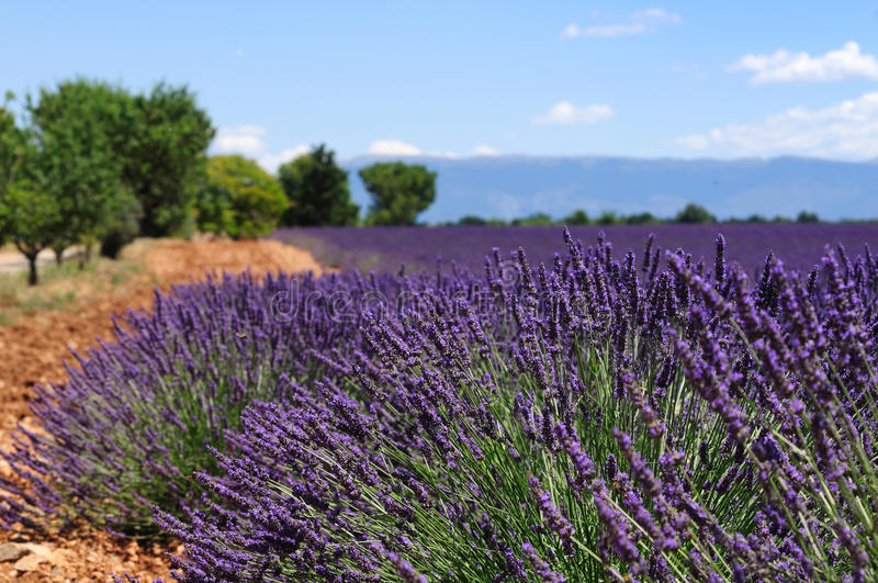 Download Lavender field stock photo. Image of lavender, picturesque - 34439688