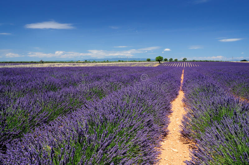 Download Lavender field stock photo. Image of haute, aroma, lines - 34439712