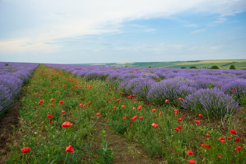 Lavender field with poppy flowers, beautiful summer landscape royalty free stock image