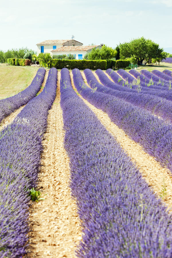 Download Lavender field, Provence stock image. Image of haute - 23011885