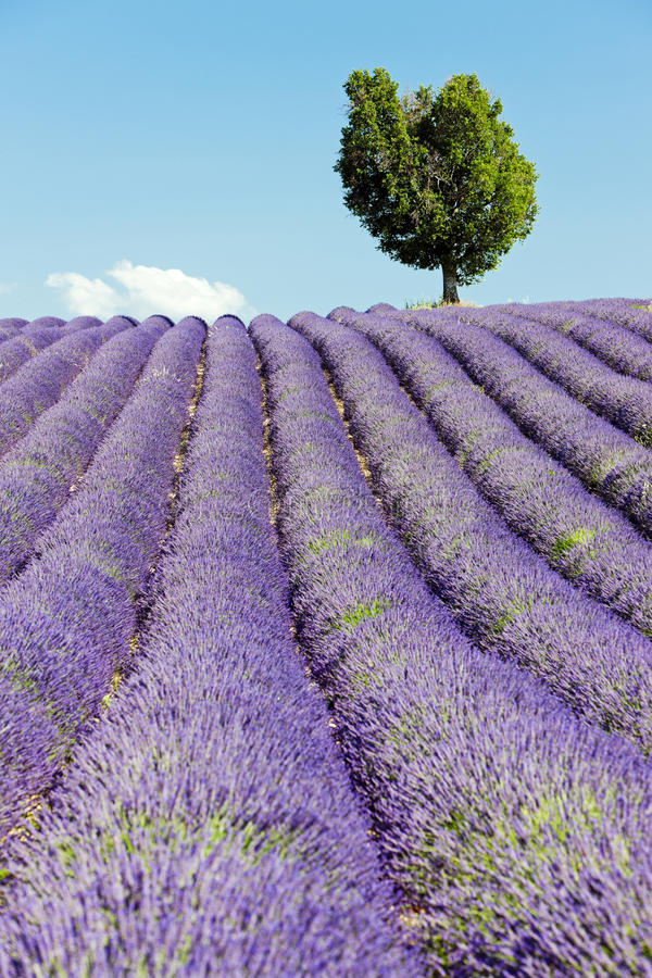 Download Lavender field, Provence stock image. Image of plant - 23867899
