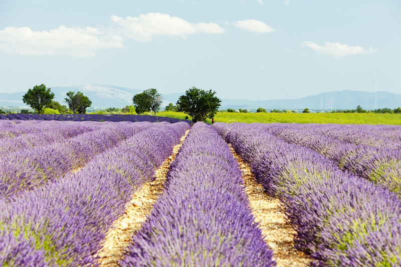 Download Lavender field, Provence stock image. Image of provence - 23867903