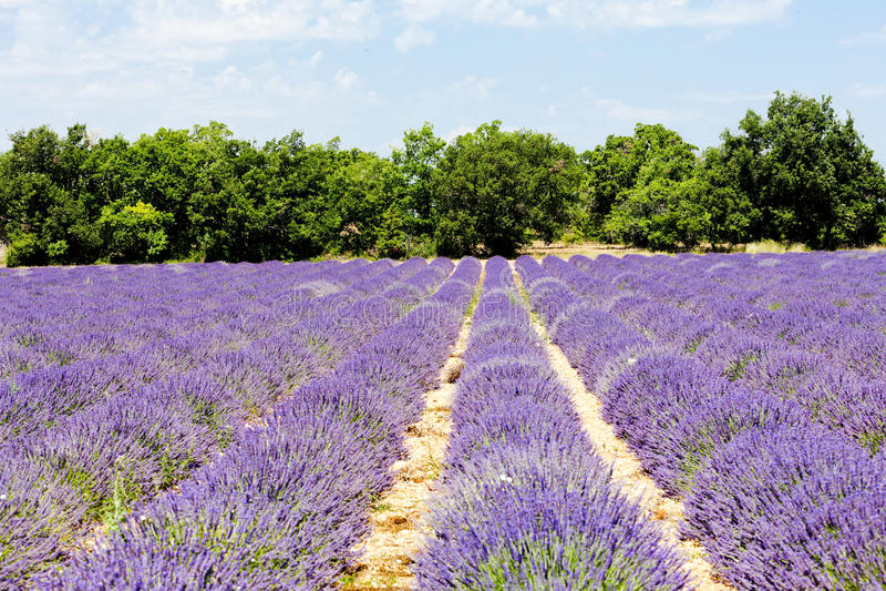 Download Lavender field, Provence stock image. Image of lavender - 23867937