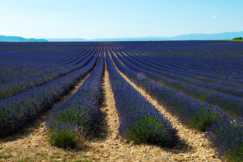 Download Lavender field in Provence stock image. Image of france - 25880541