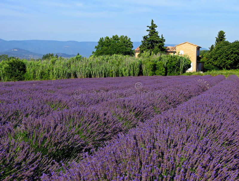 Lavender field in Provence. Lavender field with stone house near Bonnieux, France stock image