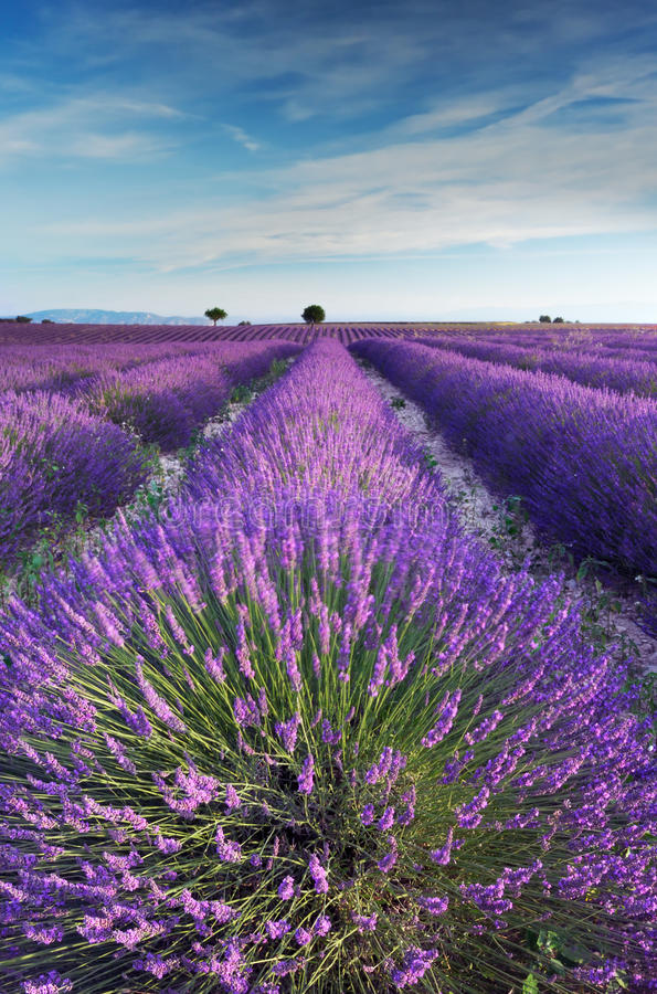 Lavender field in Provence during early morning stock image