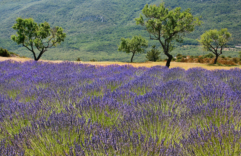 Download Lavender Field In Provence, France. Stock Image - Image: 22999123
