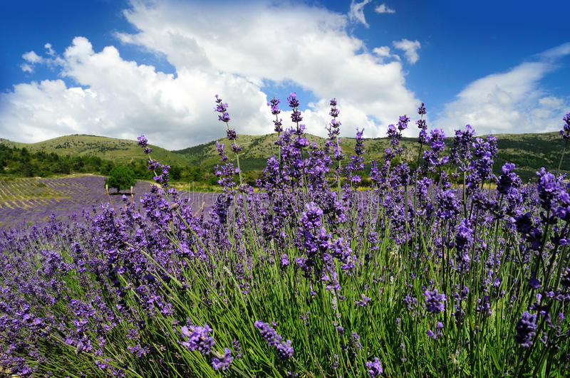 Download Lavender field stock photo. Image of aromatherapy, lavender - 34439400