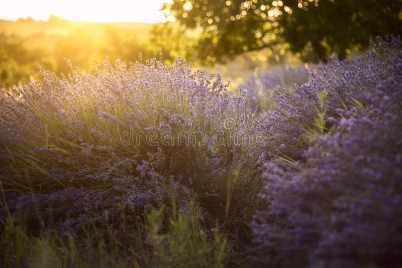 Lavender field in the rays of the setting sun stock images