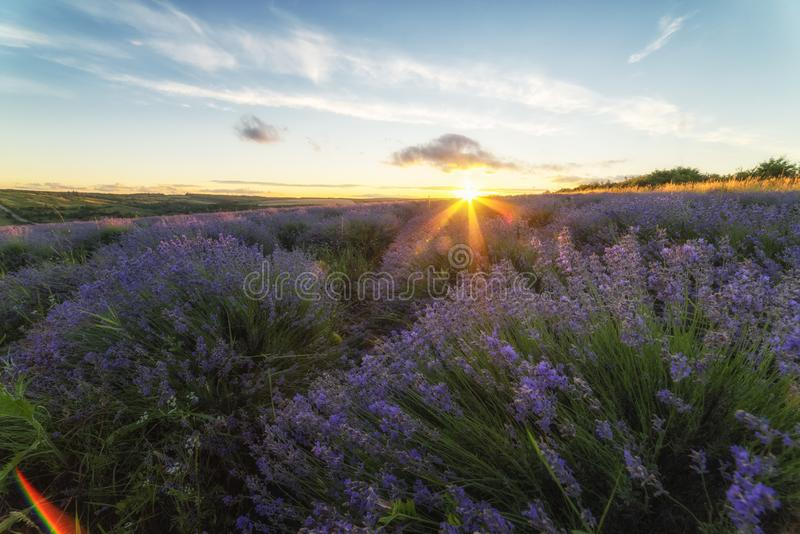 Lavender field in the rays of the setting sun stock image