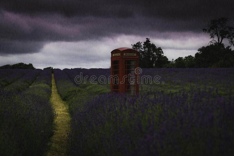 Red Telephone box in lavender field as rain pours down. Lavender field, red telephone box, stormy skies as rain pours down onto fields full of lavender royalty free stock photography
