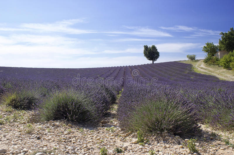 Lavender field in the region of Provence royalty free stock photos