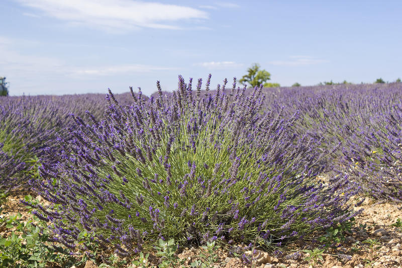 Lavender field in the region of Provence stock photos