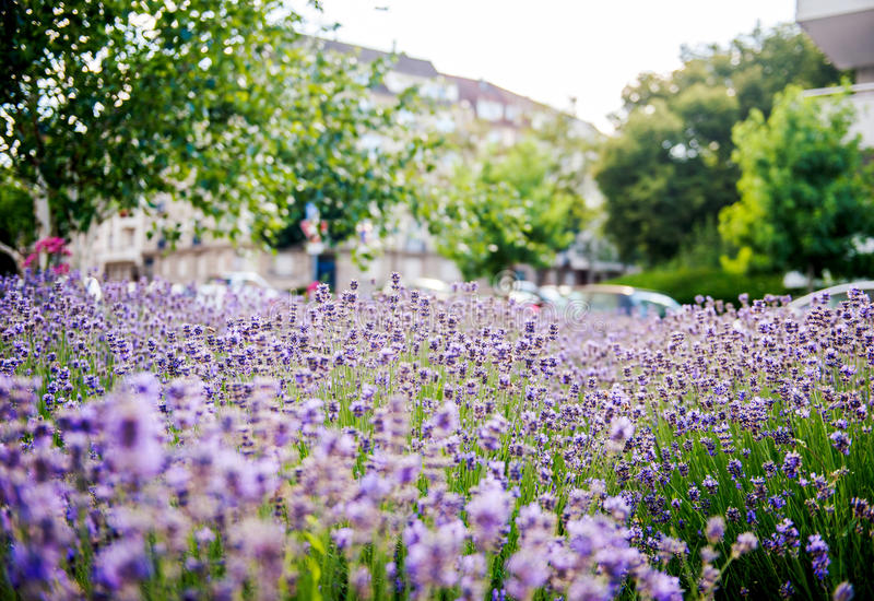 Lavender field seen in the city stock photos