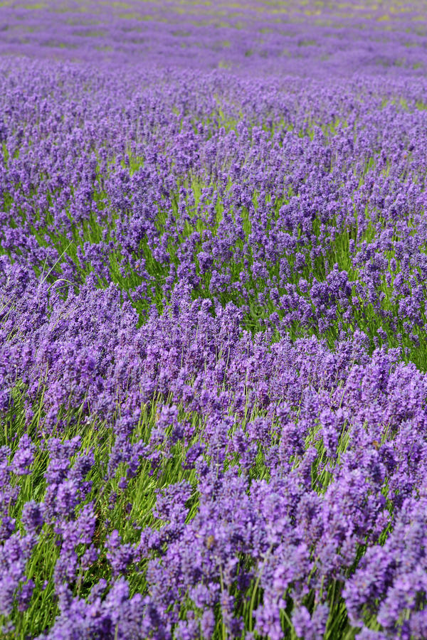 Lavender field with shallow depth of field