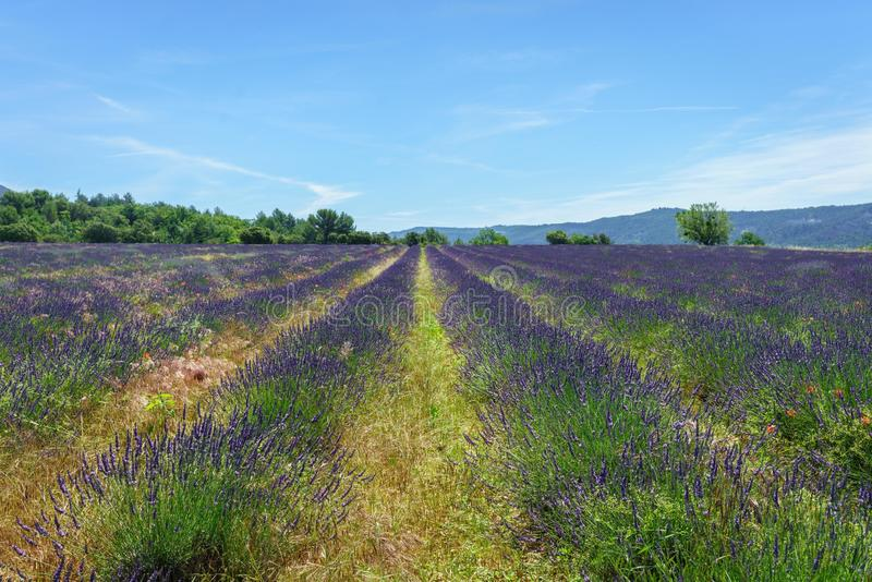 Lavender Field in Summer, Banon, Luberon, France stock image