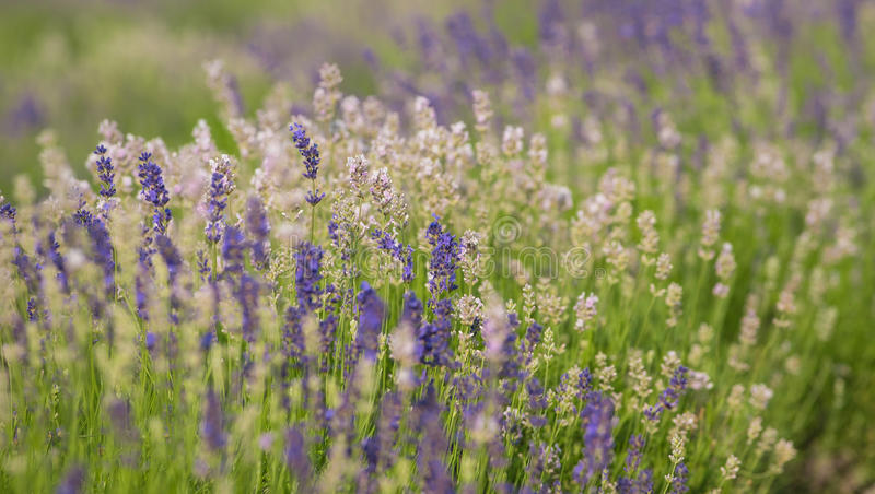 Lavender field in summer royalty free stock images