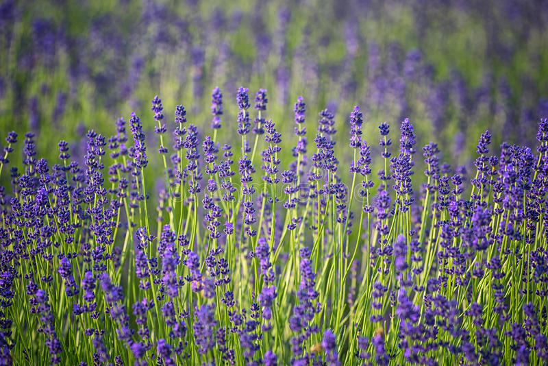 Lavender field in summer royalty free stock photography