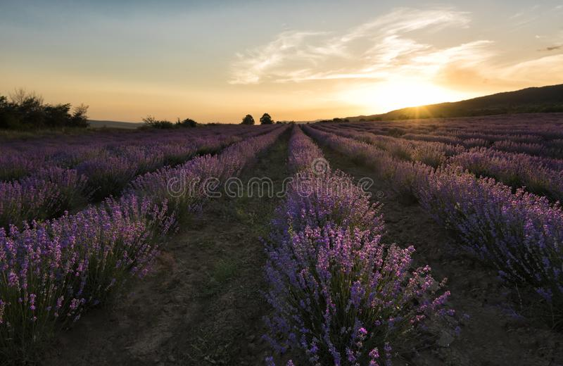 Lavender field summer sunset landscape in Bulgaria royalty free stock image