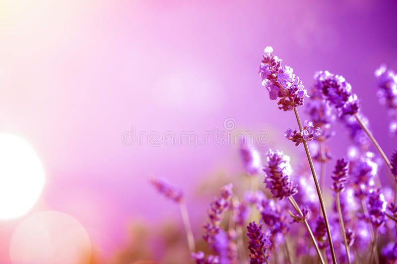 Lavender. Field in sunlight,nature background stock photography