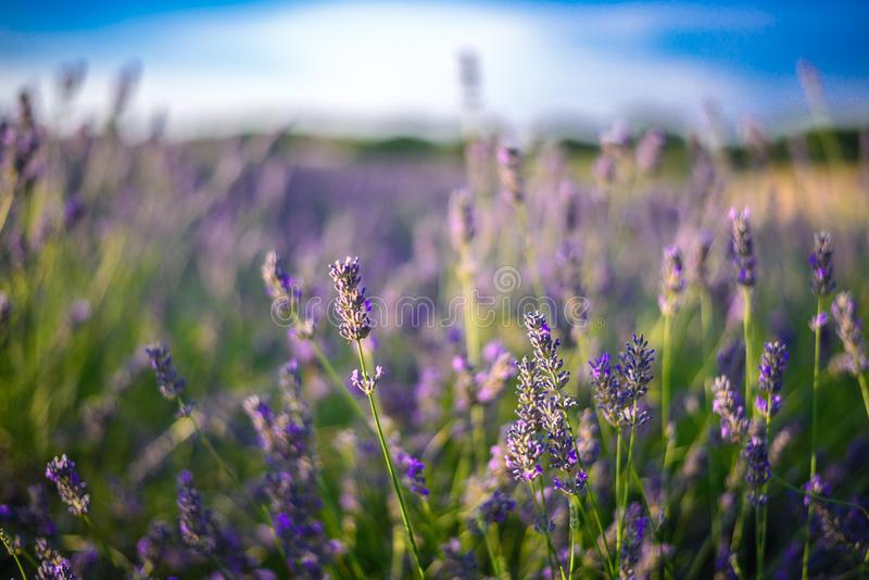 Lavender field in sunlight, Pannonhalma, Hungary, Beautiful image of lavender field. Lavender flower field. Image for natural background stock photo