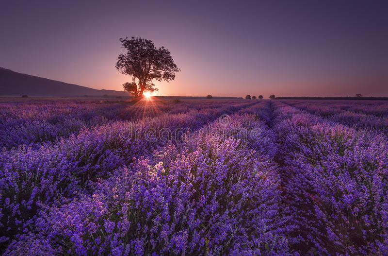 Lavender field at sunrise with lonely tree. Summer sunrise landscape, contrasting colors. stock photo